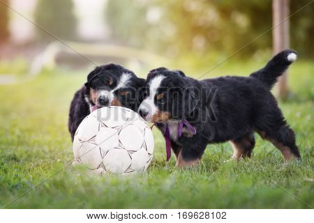 two puppies playing with a football ball