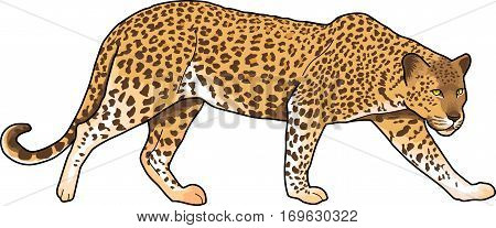 Yellow-red spotted jaguar on a white background.