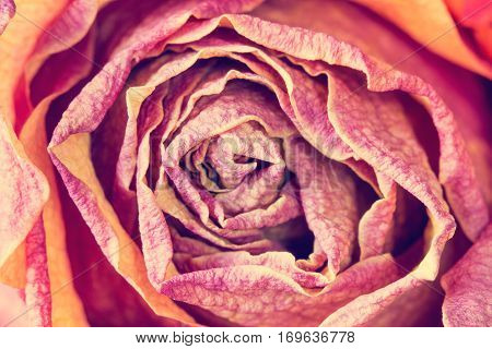 Beautiful rose flower close up. Can be used for background