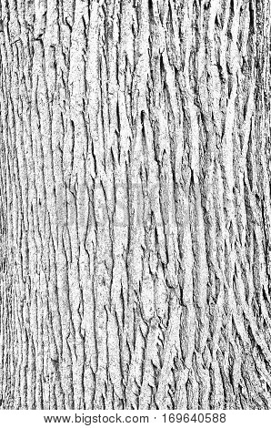 A white texture background image of the bark on an oak tree.