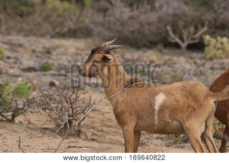 Wild brown and white goat with short horns.