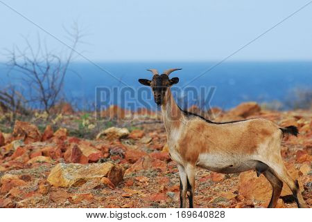 Wild billy goat standing on the top of a cliff.