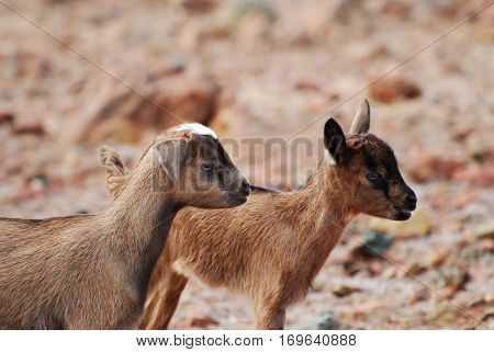 Adorable pair of two baby wild goats in Aruba.
