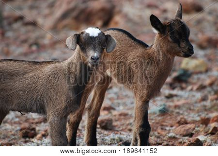 Cute pair of two baby brown wild goats in Aruba.