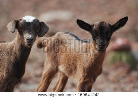 Beautiful baby goat pair with sweet expressions.
