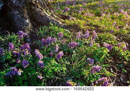 Spring forest sunset landscape - blooming mauve forest flowers of Corydalis halleri under  forest tree in the spring forest. Forest nature landscape in sunny weather. Closeup of blooming spring forest flowers in the spring forest