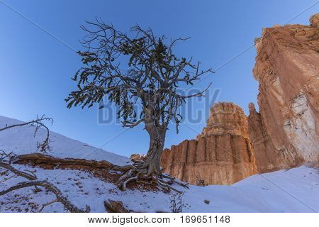 Snowy pine and hoodoos at Bryce Canyon National Park in Southern Utah.