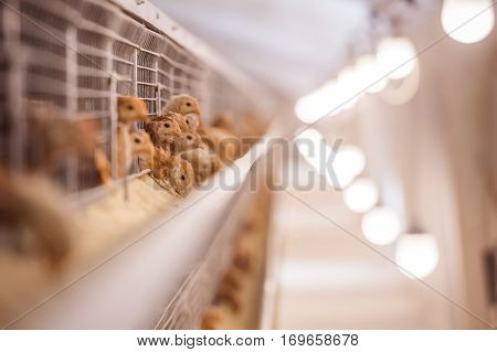 Baby chicken in a large poultry farm industry