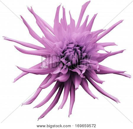 Light pink Dahlia flower white isolated background with clipping path. Closeup. no shadows. For design. Bright shaggy flower. Nature.