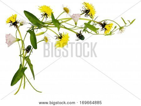 Bindweed dandelion and daisy flowers and leaves in corner arrangement isolated on white