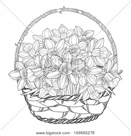 Vector bouquet with outline narcissus or daffodil flowers in the basket isolated on white. Ornate floral elements for spring design, greeting and coloring book. Basket of narcissus in contour style.