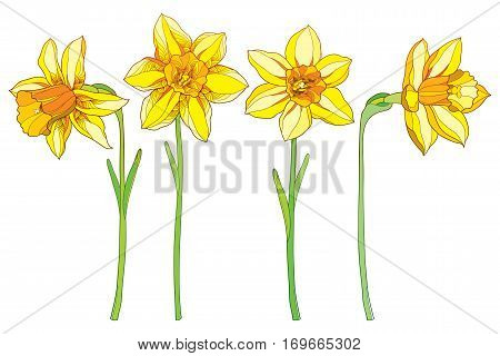 Vector set with outline yellow narcissus or daffodil flowers isolated on white. Ornate floral elements for spring design, greeting card, invitation. Narcissus flower in contour style.