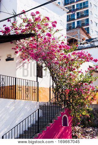 A beautiful pink bougainvillea bush against a white house