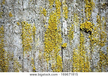 Old dry, weathered boards, covered with lichen. Macro photo, shallow depth of field.