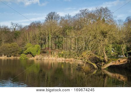 leafless tree fallen into the water of a lake in the park in Britain.