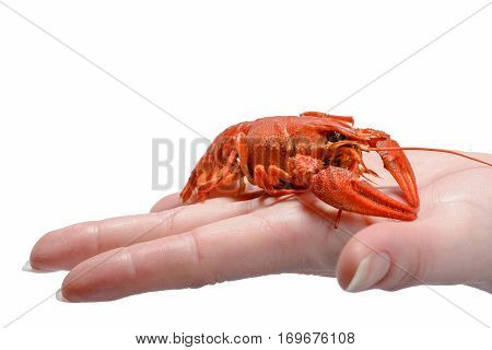 delicious boiled lobster in hand on a white background