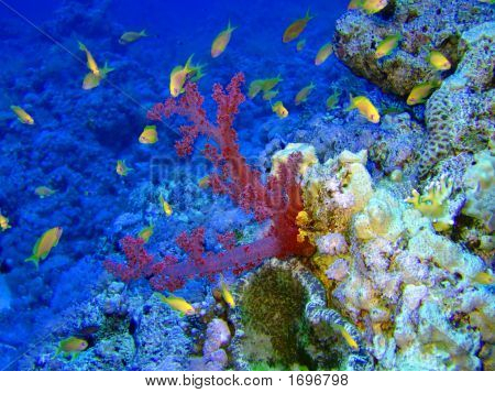 Underwater landscape with Scalefin Anthias and coral poster