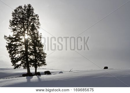 Bisons and tree at backlight Yellowstone National Park