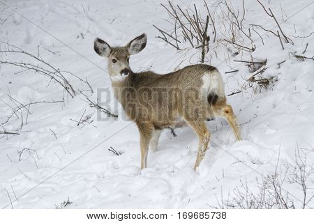 Mule Deer In Snowy Meadows Of Yellowstone National Park