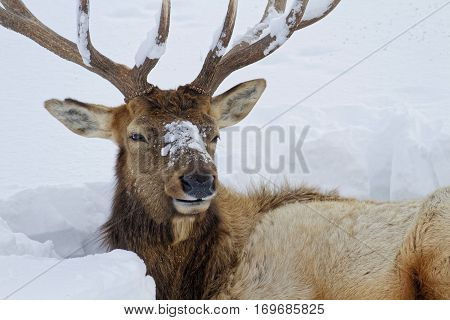Bull Elk In Winter Landscape, Yellowstone National Park