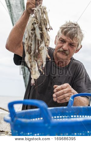 BEAUFORT, SOUTH CAROLINA-OCTOBER 16, 2015: Worker  sorts shrimp on a fishing vessel off the coast of Beaufort, South Carolina