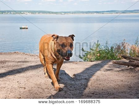 The American Staffordshire Terrier walking near river