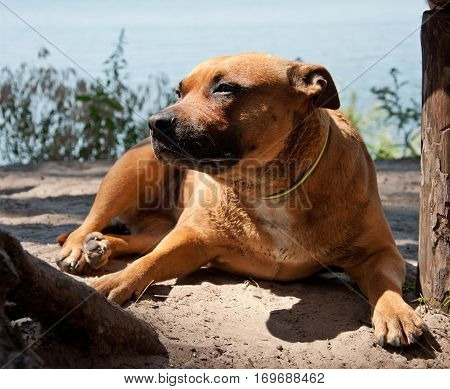 American Staffordshire Terrier lying near river on sunny day