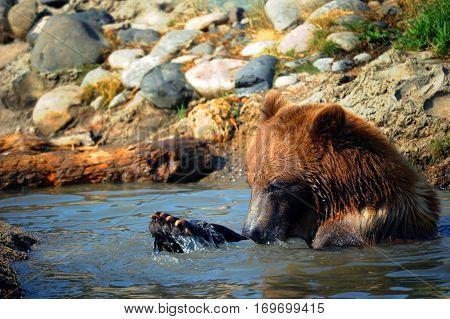 Bear Plays In Water