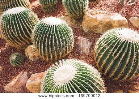 Group Of Golden Barrel Cactus In The Desert