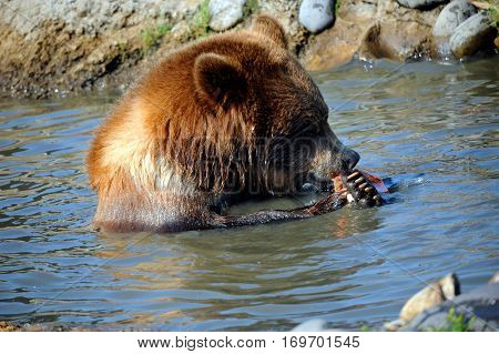 Grizzly Grips Fish
