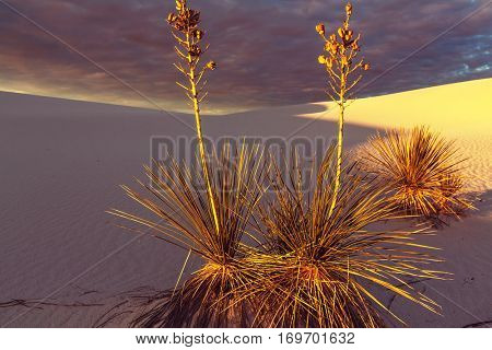 Soaptree yucca (Yucca elata) clinging to a dune at White Sands National Monument, New Mexic