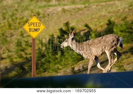Deer Obeying Speed Bump Road Sign as It Runs