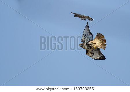 Cooper's Hawk Versus Red-Tail Hawk Aerial Combat