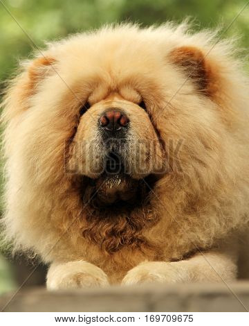 portrait of chow-chow dog lying on the street