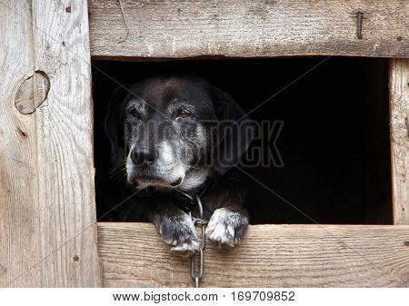 old black dog in a wooden kennel
