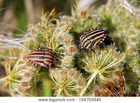 Graphosoma lineatum or Italian Striped-Bug (G. italicum)