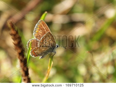 Spotted Butterfly (lycaenidae Family) On The Summer Meadow