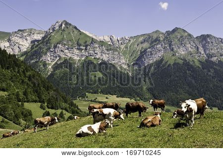 French Alps with ever-present cows. Farming in the foothills.