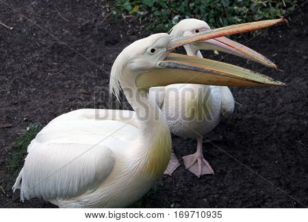 Two Great White Or Rosy Pelicans (pelecanus Onocrotalus)