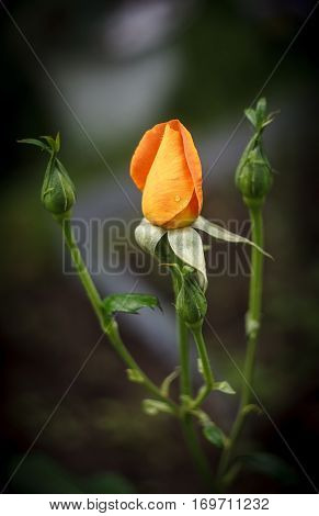 One orange and three green rose buds on a natural background
