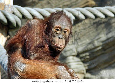 Portrait of young Bornean orangutan (Pongo pygmaeus)