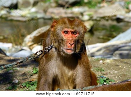 Portrait of Tibetan macaque (Macaca thibetana) on a leash Monkey Forest Sanctuary in Wudang shan China