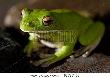 Close up view with focus to the head of a small green tree frog sitting on a stone in a shaft of sunlight