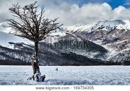 Snowy Dry Tree