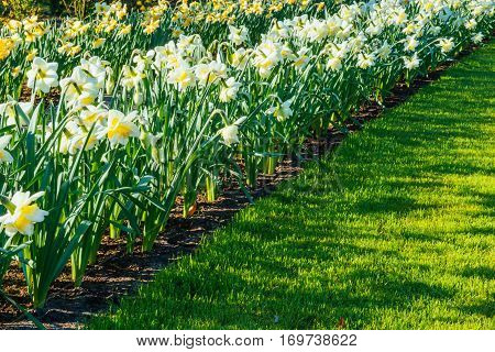 Yellow Daffodils in the gardens of Holland.