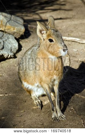 this is a close up of a patagonian cavy