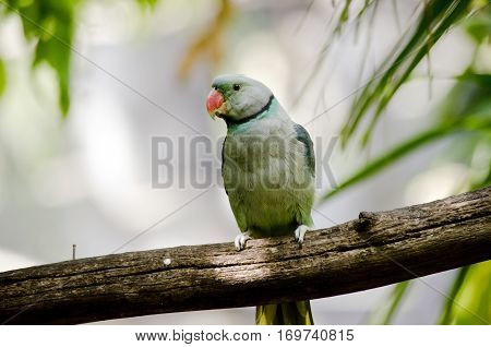 this is a close up of a malabar parakeet