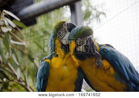 the 2 blue and gold macaws preening each other