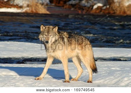 Lone grey wolf standing on a snowy riverbank