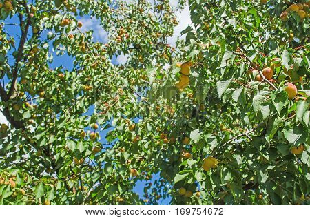 Apricots Growing On Tree